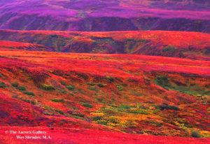 Tundra in Bloom, Alaska