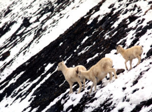 Mountain Goats, Brooks Range, Alaska