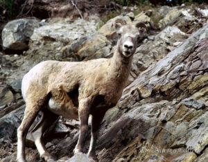 Mountain Goat, British Columbia, Canada