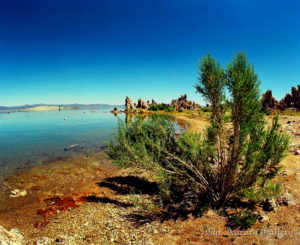 Surviving Plants on a Salton Sea, Mono Lake, California